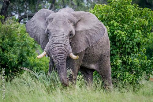 Big Elephant bull starring at the camera. Wallpaper Mural