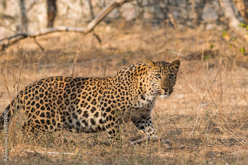 Deurstickers Luipaard A dominant male leopard from jhalana forest area, jaipur