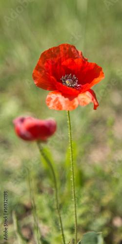 In de dag Poppy flowers in close-up