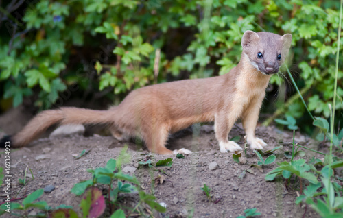 Photo  Long Tailed Weasel