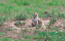 Black-tailed Prairie Dogs (Cyn...