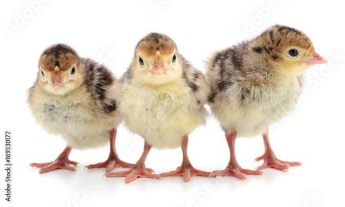 Chicken turkeys isolated