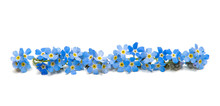 Blue Forget-me-nots Isolated