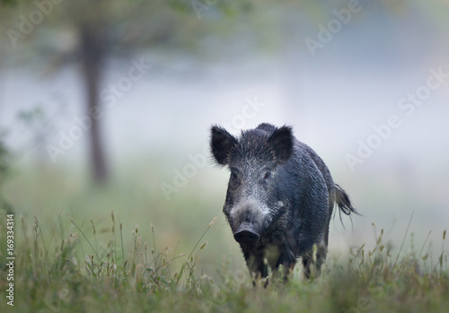 Photographie Wild boar in fog