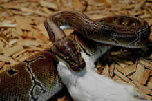 Snake And Mouse