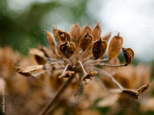 Fotografie, Obraz  beautiful dead flower head seeds old outside wild