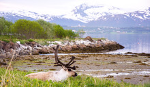 Reindeer With Mountain In Back