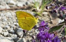 Butterfly 2017-105 /  Yellow Butterfly On Purple Flowers