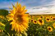 Leinwanddruck Bild - Field of blooming sunflowers