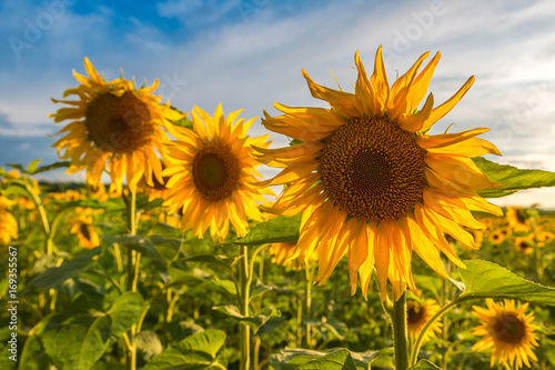 Garden Poster Floral Field of blooming sunflowers
