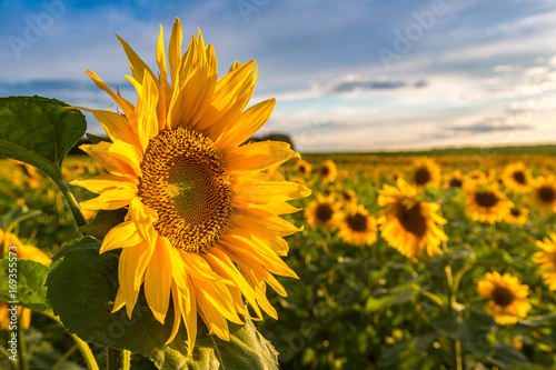 Spoed Foto op Canvas Zonnebloem Field of blooming sunflowers
