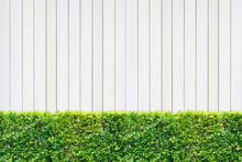 Trimmed Shrub Fence On White Wooden Panel