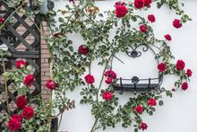 Beautiful Blossoming Rose Bush Climbing White Wall Surrounding Black Metal Frame