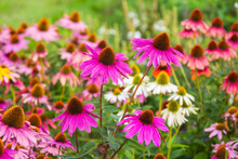Blooming Beautiful Echinacea P...