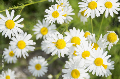 Fototapety, obrazy: Summer daisies on the lawn