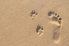 Human Footprint Beside Dog Foo...