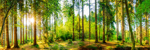 Wonderful forest panorama with bright sun