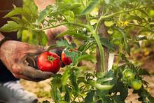 Tomato Picking In Garden