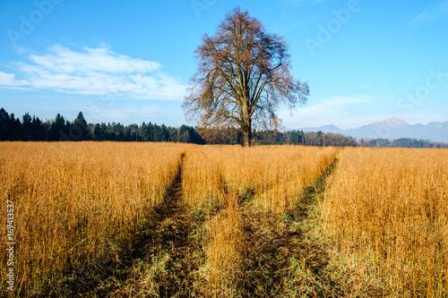 Foto auf Gartenposter Landschappen Oilseed Rape (Brassica napus), plants ready for harvesting