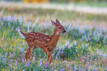 White-tailed Deer Fawn In A Fl...