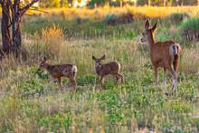 Mother Mule Deer Doe And Baby ...