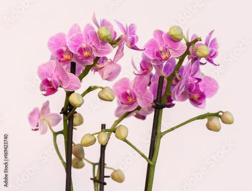 kwitnaca-rozowa-orchidea-na-jasnym-tle