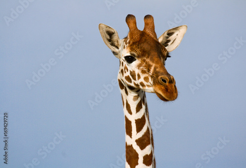 Photo  Head and neck of a reticulated giraffe