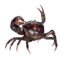 Field Crab Isolated On White B...