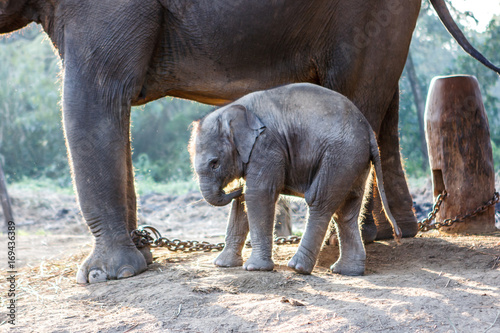 Garden Poster Elephant Baby elephant and its mother at the Chitwan National Park, Nepal