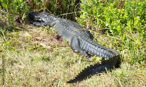 Printed kitchen splashbacks Crocodile Alligator walking away