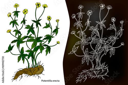 Fényképezés  Potentilla erecta (Tormentilla erecta, Potentilla laeta, Potentilla tormentilla,