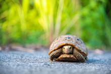 Turtle Walking On Tarmac Rural...