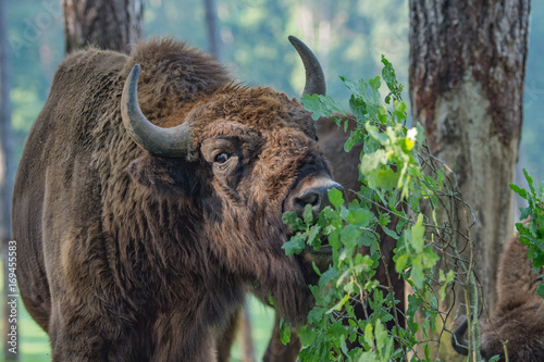 Tuinposter Buffel Bison d'Europe