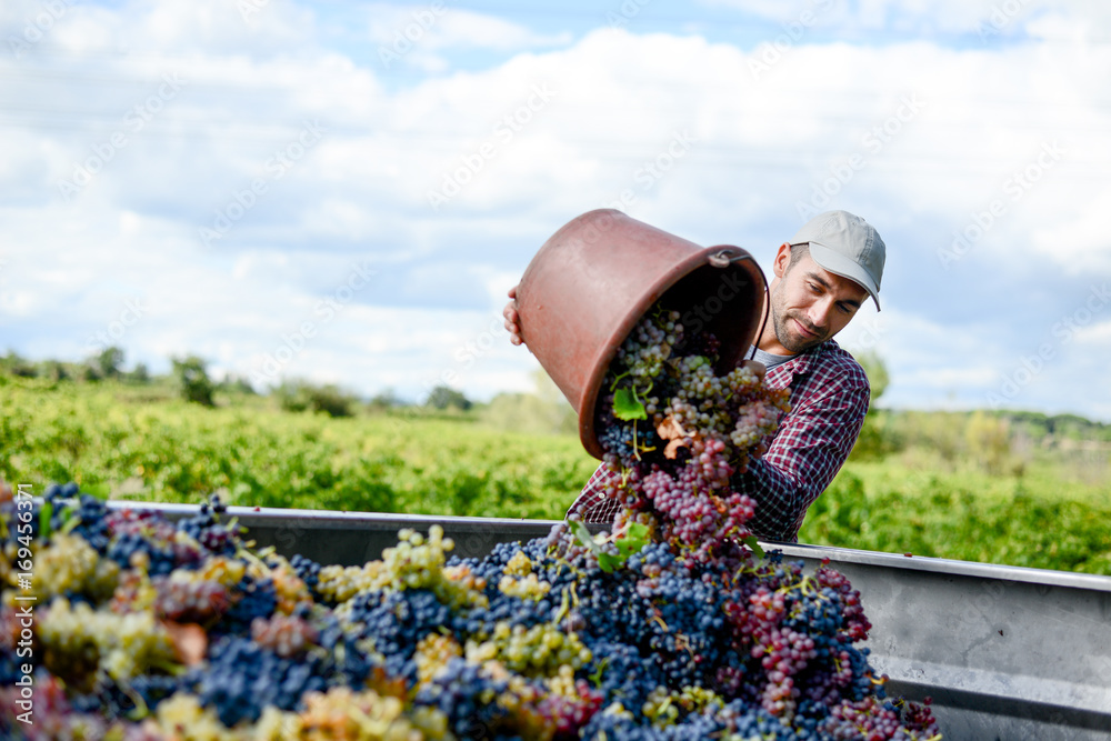 Fototapety, obrazy: handsome young man winemaker in his vineyard during wine harvest emptying a grape bucket in tractor trailer