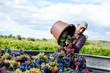 canvas print picture - handsome young man winemaker in his vineyard during wine harvest emptying a grape bucket in tractor trailer
