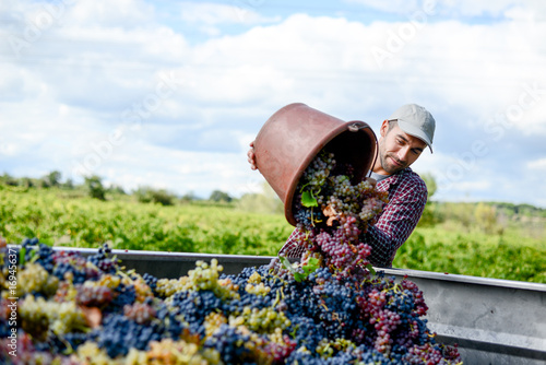 Fototapeta handsome young man winemaker in his vineyard during wine harvest emptying a grape bucket in tractor trailer obraz