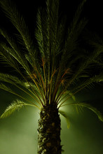 Green Light Cast Agains A Palm Tree At Night.
