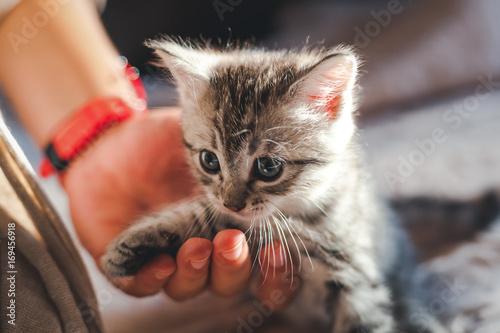 Plakat piękny mały szary kotek z niebieskimi oczami i ludzką ręką