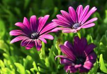 Osteospermum Ecklonis Flowers ...