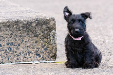 9 Week Old Scottish Terrier Pu...