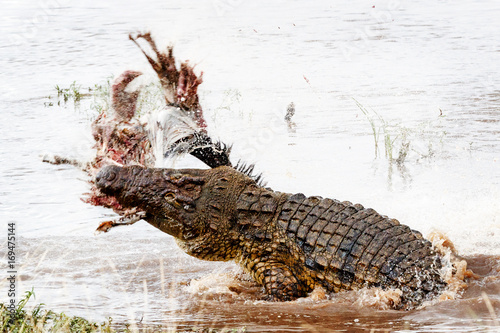 Poster Crocodile Nile Crocodile With Kill in Mara River
