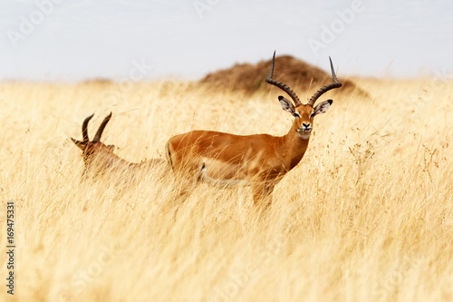 Tuinposter Antilope Topi in Tall Grass Eating Flower