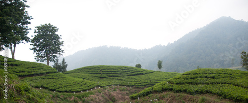 Deurstickers Asia land tea plantation