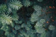 Fir Tree Brunch Close Up. Shal...