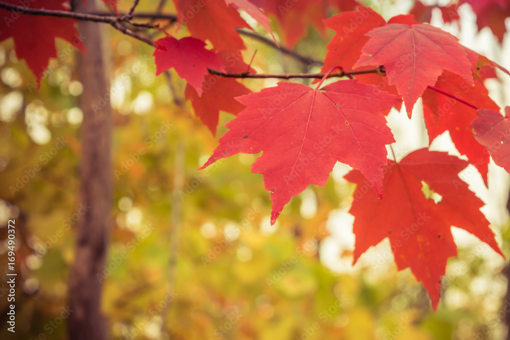Maple Leaves on Sunny Autumn Day
