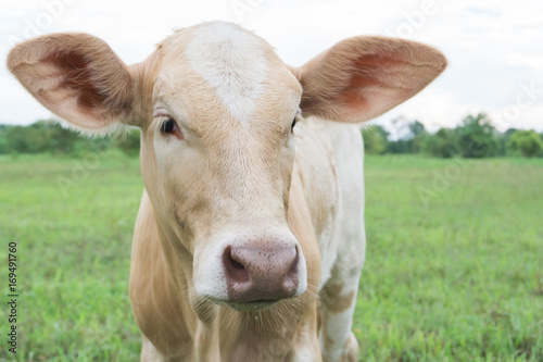 Closeup face of calf with green grass nature background, selective focus Poster