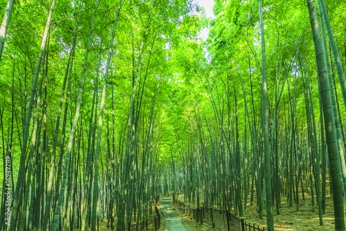 Photo sur Toile Bambou bamboo forest