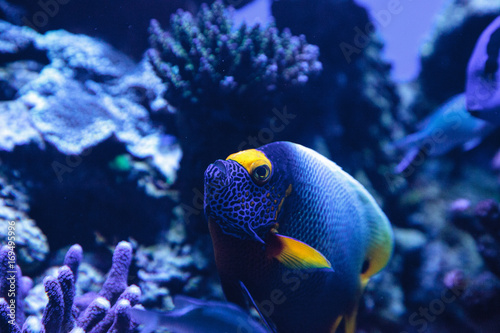 Blue faced angelfish Pomacanthus xanthometopon Wallpaper Mural