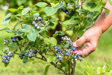 Woman Picking Blueberries, Clo...