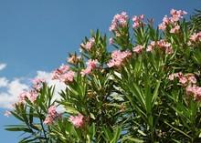 Oleander Bush With Pink Flowers